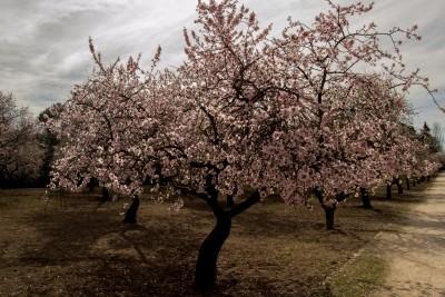 Entre almendros en flor en la Quinta de los Molinos